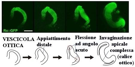 Formazione in quattro fasi del calice ottico da cellule staminali di topo (Immagine originale: Istituto Riken, Giappone)