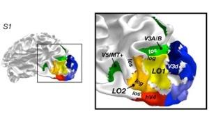 Aree LO1 e LO2 nella corteccia cerebrale occipitale (Fonte: Nature Neuroscience 2006)