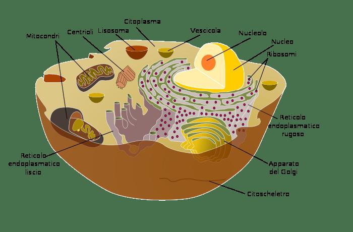 Struttura interna di una cellula: in alto una vescicola
