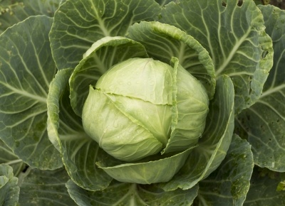verdura-verde-cavolo-foto_freedigitalphotos_net.jpg